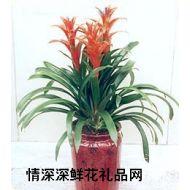 盆花植物,擎天凤梨花