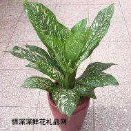 绿叶植物,白雪公主
