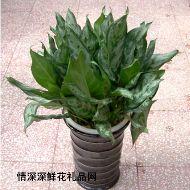 绿叶植物,黑美人