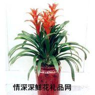 鲜花盆栽,擎天凤梨花