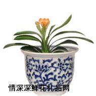 鲜花盆栽,君子兰