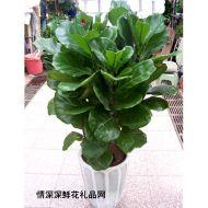 绿植盆栽,琴叶榕