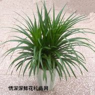 绿叶植物,龙血树