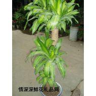 �G植盆栽,巴西木