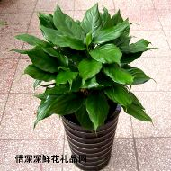 植物租赁,竹节万年青
