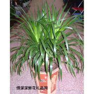 绿叶植物,富贵龙血树