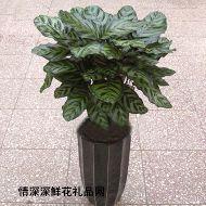 植物租赁,美丽竹芋
