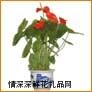 鲜花盆栽,红掌