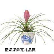 鲜花盆栽,盆栽铁兰