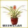 鲜花盆栽,粉菠萝凤梨