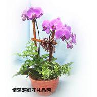 盆栽兰花,紫红蝴蝶兰