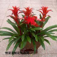 盆花植物,凤梨(三棵)