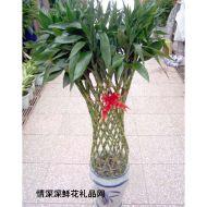 植物租赁,富贵竹笼