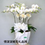 蝴蝶兰,白色蝴蝶兰