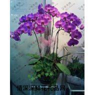 蝴蝶�m,紫色蝴蝶�m(高�F)