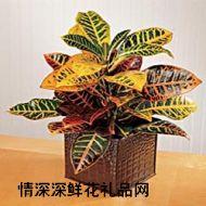 绿植盆栽,变叶木