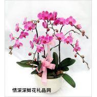 盆栽兰花,喜庆蝴蝶兰