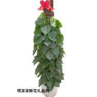 �G植盆栽,青�~藤