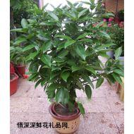 大型盆栽,元宝树