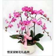 上海鲜花,喜庆蝴蝶兰
