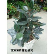绿植盆栽,黑金刚(橡皮树)